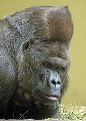 western lowlandgorilla Akili artis 094A1012 (j.a.kok) Tags: animal artis africa afrika aap ape mammal monkey mensaap primate primaat zoogdier dier gorilla westelijkelaaglandgorilla westernlowlandgorilla lowlandgorilla laaglandgorilla akili