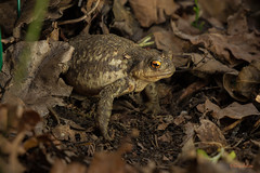 Il me regarde (guyju) Tags: crapaud toad