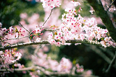 Sakura (moaan) Tags: iga mie japan sakura cherryblossom cherrytree blossoms blossoming inblossom fullblossom springtime april focusonforeground selectivefocus bokeh bokehphotography dof leica leicamp type240 noctilux 50mm f10 noctilux50mmf10 leicanoctilux50mmf10