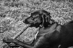 Rose and a Stick, 2019.04.18 (Aaron Glenn Campbell) Tags: puppy dog doggo pupper labmix bordercolliemix borador knoxcounty knoxville tn tennessee outdoors nature grass stick bw blackandwhite nikcollection analogefexpro viveza sony a6000 ilce6000 mirrorless tokina 35105mmf35 closefocuszoom telephotozoom filmera vintagelens canonfdmount