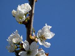 Kirschblüten (cangaroojack) Tags: spring garden germany 2019 april garten frühling blumen