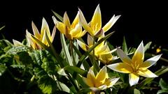 Wildtulpen (cangaroojack) Tags: tulpe tulpen weis gelb wildtulpe frühling blume blumen blüten garten garden spring flower flowers tulip tulips yellow white star