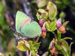 Green Hairstreak - Callophrys rubi 3 (Craig Hannah) Tags: greenhairstreak butterfly callophrysrubi billberry wimberry insect macro closeup wildlife nature saddleworth pennine oldham greatermanchester england uk craighannah canon photography photos diggle spring april 2019