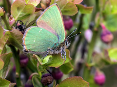 Green Hairstreak - Callophrys rubi 4 (Craig Hannah) Tags: greenhairstreak butterfly callophrysrubi billberry wimberry insect macro closeup wildlife nature saddleworth pennine oldham greatermanchester england uk craighannah canon photography photos diggle spring april 2019
