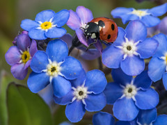 Ladybird and Forget-me-not (Craig Hannah) Tags: ladybird forgetmenot insect macro closeup wildlife nature saddleworth pennine oldham greatermanchester england uk craighannah canon photography photos diggle allotment spring april 2019