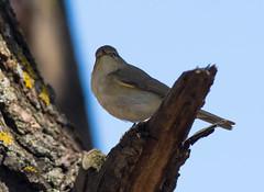 Пеночка теньковка - Chiffchaff (SvetlanaJessy) Tags: природа птицы пеночка bird birds