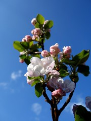 Apple blossom (STEHOUWER AND RECIO) Tags: apple blossoms appleblossoms blossom tree white pink bloesem boom scheef crooked macro sky blue appelboom flower flowers bloem bloemen lente spring