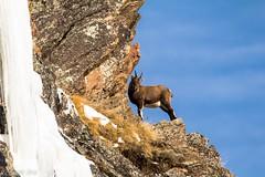 Stambecco-capra ibex (riccardo stra) Tags: stambecco capra ibex natura selvatico wild sauvage bouquetin alpes alpi montagne montagna aosta valle valley vallee aoste