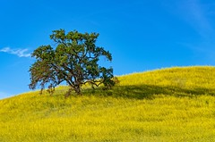 lone tree (Luc Mena Photography) Tags: blue california colorful flowers hills landscape malibu malibucreekstatepark nature outdoors poppies sky spring tree wildflowers yellow losangeles ca usa