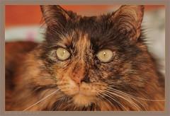 DSC04677 Easy Portrait (Olpo2vin) Tags: cat chat yeux eyes regard look félin feline olpo easy poils fourrure redessan 30129 animaldecompagnie vibrisses