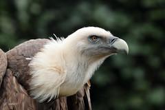 Vale Gier (K.Verhulst) Tags: gier vulture vogels birds amersfoort dierenparkamersfoort valegier