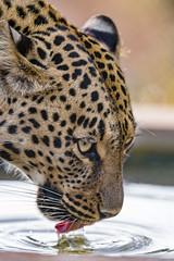 Choetta drinking (Tambako the Jaguar) Tags: leopard big wild cat female leopardess asiatic asian profile portrait face drinking water tank tongue beautiful gorgeous lionsafaripark johannesburg southafrica nikon d5