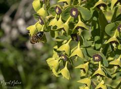 ABEJA (Asomados al Mundo) Tags: alpujarra alpujarras capileira flor plantas abeja