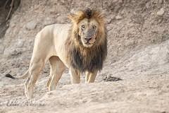 LIon (mayekarulhas) Tags: lion masaimara cats wildlife wild safari canon canon500mm canon1dxmark2 carnivores africa kenya
