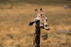 SafariWest-_DSC1450 (Vamsi K) Tags: california nature safari wildlife google santarosa ca usa