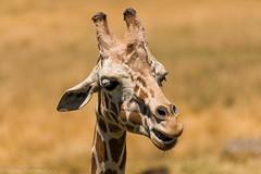 SafariWest-_DSC1452 (Vamsi K) Tags: california nature safari wildlife google santarosa ca usa
