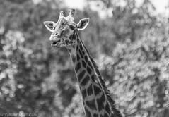 SafariWest-_DSC1477 (Vamsi K) Tags: california nature safari wildlife google santarosa ca usa