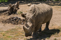 SafariWest-_DSC1509 (Vamsi K) Tags: california nature safari wildlife google santarosa ca usa