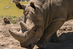 SafariWest-_DSC1512 (Vamsi K) Tags: california nature safari wildlife google santarosa ca usa