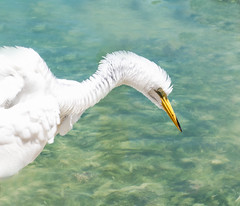 Great White Egret fluff:  2019 04 13 18 ar72 crp CEtc Er -4180869 (Louise Lindsay) Tags: 41319 41819 popps bungalowsseaplane pleinair robbies seaplane