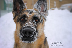 German Shepherd (jessicasview) Tags: german shepherd shepherds dog dogs puppy puppies pet pets animals animal winter cold snow outside outdoors outdoor nature cute beautiful gsd