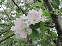 apple blossoms (Cheryl Dunlop Molin) Tags: