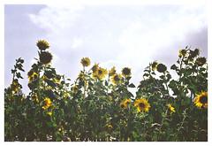 Les Tournesols (Anita MW) Tags: tournesol sunflower vincentvangogh kangaroo valley film filmphotography olympus om2n kodak colorplus 200 analogue
