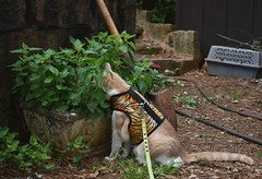 a favorite stop (rootcrop54) Tags: otis dilute orange ginger tabby male cat onaleash tigerprint vest catnip planter neko macska kedi 猫 kočka kissa γάτα köttur kucing gatto 고양이 kaķis katė katt katze katzen kot кошка mačka gatos maček kitteh chat ネコ