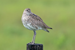 Willet (noblesgeorge1) Tags: