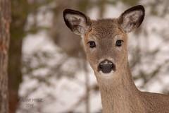 Eyes Wide Open (jenny_miner) Tags: deer whitetaildear whitetail whitetaleddeer odocoileusvirginianus doe forest nature wildlife backyard wisconsin