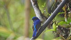 Small Niltava !! (Lopamudra !) Tags: lopamudra lopamudrabarman lopa bird smallniltava niltava kalimpong darjeeling himalaya himalayas india nature icchagaon westbengal