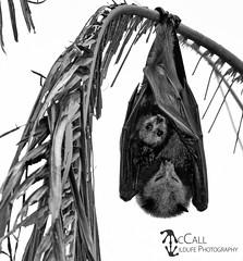 Grey-headed Flying-fox (Pteropus poliocephalus) (McCall Wildlife Photography) Tags: 2018 australia december queensland wildlife bat flyingfox fruitbat pteropuspoliocephalus greyheadedflyingfox wildlifephotography mccallwildlifephotography nikon d7500