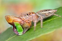 Twofer (gatorlink) Tags: canon6dmarkii nature canonmpe65mmf2815xmacrophoto jumping spider hopper hemiptera bug flash mt26exrtmacrotwinlite gainesville florida alachua forest swamp paynesprairie
