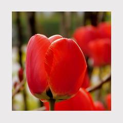 Czerwony tulipan. (andrzejskałuba) Tags: poland polska pieszyce dolnyśląsk silesia sudety europe natura nature natural natureshot natureworld nikoncoolpixb500 plant roślina zieleń green garden ogród twig twigs beautiful color czerwony red kwiat kwiaty flower flora floral flowers macro tulip tulipan tulipany tulips spring wiosna 1000v40f