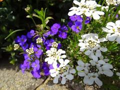"""Frühling im Hausgarten - Spring in the home garden - Printemps dans le jardin (warata) Tags: 2019 deutschland germany süddeutschland southerngermany schwaben swabia oberschwaben upperswabia schwäbischesoberland """"badenwürttemberg"""" badenwuerttemberg pflanze blume blüte flower fleur """"sony dschx400v"""" frühling hausgarten spring nature outside landscape garden"""