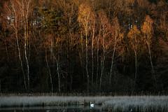 in the evening light (renatecamin) Tags: eveninglight abendlicht birken birches schwan swan nature natur landschaft landscape