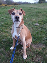 Jake (cycle.nut66) Tags: jake dog terrier patterdale outside walk old grey brindle grass countryside muzzle nose sit samsung galaxy a3