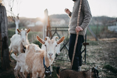 Goats with their shepherd on a farm (Ivan Radic) Tags: bauernhof dslr dorf hirte nikon nikond610 nutztier schäfer sigma35mmf14art sigmaart ziegen adorable agriculture amland animals barn breeding cattle cute domestic family farm farmanimal farmer farming food goats health horn livestock meadow nature organic outdoors outside portrait reflex rural rustic sunset traditional village wildlife youth