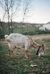 Goat grazing on a meadow (Ivan Radic) Tags: bauernhof dslr feld nikon nikond610 nutztier sigma35mmf14art sigmaart ziege adorable agriculture animals barn breeding cattle cute domestic family farm farmanimal farming field food goats grasen health horn livestock meadow nature organic outdoors outside portrait reflex rural rustic sunset traditional village weiden wildlife youth