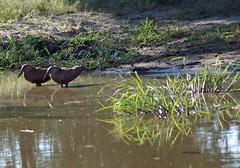 Hamerkop (sacipere) Tags: namibia bird passaro vogel waterhole bwabwata hamerkop scopusumbretta