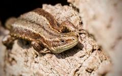 Common Lizard (Alan McCluskie) Tags: commonlizard zootocaviviparis lizards reptiles britishreptiles