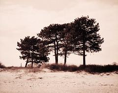 Fyrretræer (LarsHolte) Tags: pentax 67 6x7 pentax67 pentax6x7 smctakumar6x7 135mm f40 foma fomapan fomapan100 fomapan100professional caffenolc 100iso mediumformat blackandwhite monochrome bw 120film analog analogue classicblackwhite filmforever filmphotography ishootfilm larsholte homeprocessing denmark danmark nivå nivåstrand strand beach pines