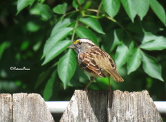 male white-throated1 (Patricia Pierce) Tags: malewhitethroatedsparrow whitethroatedsparrow sparrow alabamawildlife alabamabackyardwildlife alabama mobilealabama nationalwildlifefederation thenatureconservancy backyardwildlife