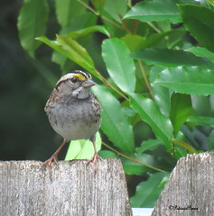 male white-throated3 (Patricia Pierce) Tags: malewhitethroatedsparrow whitethroatedsparrow sparrow alabamawildlife alabamabackyardwildlife alabama mobilealabama nationalwildlifefederation thenatureconservancy backyardwildlife