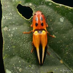 Pretty Click Beetle, Platycrepidius grandini, Elateridae (Ecuador Megadiverso) Tags: andreaskay beetle clickbeetle coleoptera ecuador elateridae jardinbotanicolasorquideas platycrepidiusgrandini