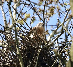 Kestrel on its nest (Baz2016) Tags: hawks birdsofprey newlife spring nestingkestrel kestreloneggs