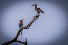 Who's Pirch (colin@thecranes.co.za) Tags: krugernationalpark southernyellowbilledhornbill lilacbreastedroller southafrica
