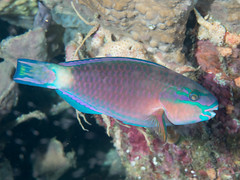 Bluepatch parrotfish (Scarus forsteni)