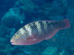 Bleekers parrotfish (Chlorurus bleekeri)