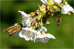 Kirschblüte im Kremstal (robert.pechmann) Tags: makro macro kirschblüte baum kirsche biene flug robert pechmann kremstal micheldorf garten honigbiene